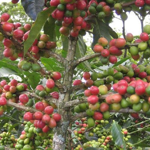 Papua New Guinea Kimel Estate Peaberry